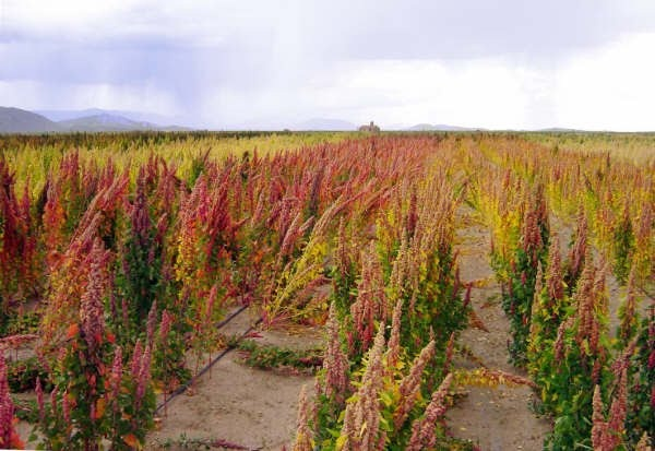 Plantação de Quinua